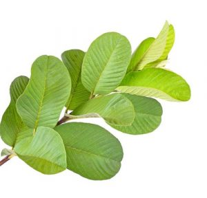 guava-leaf-extract-500x500-1-300x288.jpg