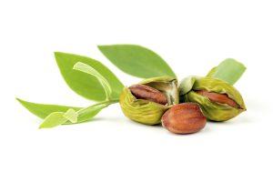 jojoba-leaf-and-fruit-300x200.jpg