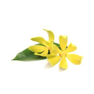 ylang-ylang-flower-pronthap-kongrit.jpg