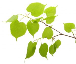 birch_leaves_55086771-64e5-469e-9f25-fa9bca047216_1024x1024-300x253.jpg